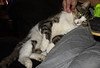 Mowser Cat - Late Night 10-5-17 01 (anothertom) Tags: cats mowsercat funnycat silly latenight lapcat belly cutecat paws 2017 sonyrx100ii