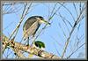 Reclusive (WanaM3) Tags: wanam3 sony a700 sonya700 texas pasadena horsepenbayou bayou clearlakecity outdoors nature wildlife canoeing paddling animal bird heron blackcrownednightheron