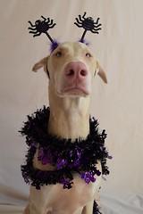 DSC_0014 (justinluv) Tags: prima doberman whitedoberman albinodoberman dobermanpinscher dobe dobie puppy halloween