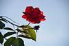 Rose de Novembre (Croc'odile67) Tags: nikon d3300 sigma contemporary 18200dcoshsmc fleurs flowers rouge red rose