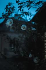 Twilight time (Veistim) Tags: visby flowers sunset twilight dew nature village