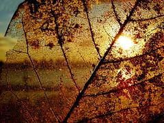 A golden sunset through a skeletonized leaf (+2) (peggyhr) Tags: peggyhr sunset golden skyline harbour macro skeletonizedleaf dof details sun dsc00543ab vancouver bc canada sonydschx80 broken thegalaxy interestingnature gallery thegalaxyhalloffame thegalaxystars infinitexposurel1 super~sixbronze☆stage1☆ thelooklevel1red carolinasfarmfriends thelooklevel2yellow thelooklevel3orange