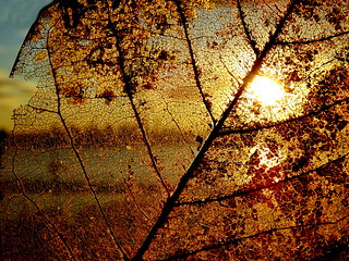 A golden sunset through a skeletonized leaf (+2)