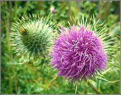 Two Thistle Flowers ... (** Janets Photos **) Tags: uk plants flora flowers wildflowers thistles buds closeups