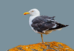 Lesser Black-backed Gull (Larus fuscus) - Looking Elegant !! (Clive Brown 72) Tags: gull rocks lichen moss coastal see perched adult beach lesserblackbackedgull