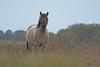 Konik. (aracobis) Tags: septembre cheval konikpolski equus étang canon7d sigma100300f4 lorraine meuse lachaussée