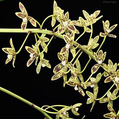 Cymbidium canaliculatum 1800 (Harlz_) Tags: cymbidiumcanaliculatum cymbidium native species orchid australia