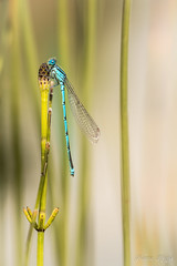 """""""Chat perché..."""" (regisfiacre) Tags: platycnemis pennipes pennipatte bleuâtre agrion larges pattes libellule libellula libelle dragonfly damselfly odonate odonata insect insecte insekt bug bugs ailes wings nature sauvage wild wildlife macro macrophoto macrophotography macrophotographie canon 5div mark iv 4 plein format full frame sigma 150mm apo ex dg os hsm moselle france"""