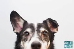 Week 40: Lost & Found (bmurphy502) Tags: doggin dog dogs blackandwhitedog bordercolliemix bordercollie ear ears floppy animal pet portrait animals indoor naturallight canon 50mm mutt mixbreed