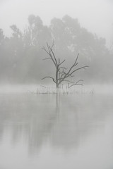 Dead Tree, Live Trees (tltichy) Tags: autumn dead fall fog foggy grass gray grey lake landscape moody morning nature otay reflection reservoir solitary tree trees water
