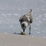 Sanderling dining on a crab thumbnail