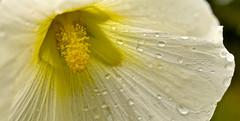 CLOSE UP (chris .p) Tags: hidcote gloucestershire nikon d610 capture autumn 2017 september rain drop nt nationaltrust flower