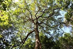 Umbrella Cheese Tree (Glochidion sumatranum) (Poytr) Tags: umbrellacheesetree glochidionsumatranum glochidion phyllanthaceae royalbotanicgardenssydney rbgs rbgsarfp arfp nswrfp qrfp cheesetree buttonwood tree warfp ntrfp park trunk