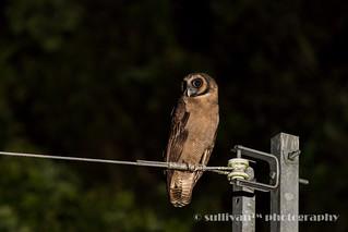 褐林鴞 IMG_2114