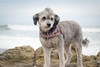 Freddie (lauripiper) Tags: dog dogs beach leocarrillostatebeach malibu nikon d810 2017 d800 mutt schnoodle rescue mixedbreed water sea wave ocean freddie