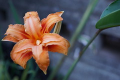 Orange lily (eomer1) Tags: papuanewguinea mybackyard