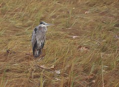 Great Blue Heron By The Mackworth Island Causeway (Bill Bunn) Tags: greatblueheron falmouth maine