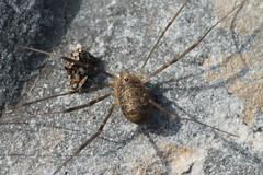 Nelima gothica (Harvestman at Large) Tags: arachnid arachtober opiliones nelimagothica harvestman aberthawleys sssi shore