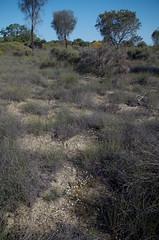 Brachyscome pusilla, Toolibin, east of Narrogin, WA, 15/09/17 (Russell Cumming) Tags: plant brachyscome brachyscomepusilla asteraceae toolibin narrogin westernaustralia
