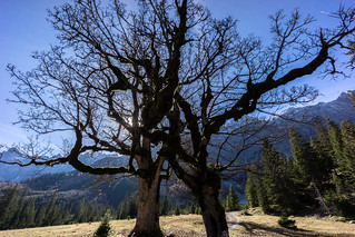The dancing Trees