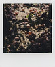 (JoexEdge) Tags: polaroid originals sx70 color sonar instant film impossibleproject apples russels farms apple picking