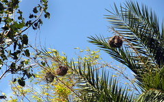 mauritius nests (kexi) Tags: mauritius ilemaurice nests nature palms sky blue green africa samsung wb690 september 2016 3 three hanging highup instantfave