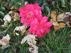 ** Roses...et feuilles mortes...** (Impatience_1(retour progressif)) Tags: rose fleur flower feuille leaf feuillemorte deadleaf automne fall autumn m impatience saveearth supershot coth coth5 ngc alittlebeauty sunrays5 abigfave