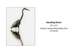 "Standing Heron • <a style=""font-size:0.8em;"" href=""https://www.flickr.com/photos/124378531@N04/24076440638/"" target=""_blank"">View on Flickr</a>"