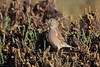Linotte mélodieuse - Common Linnet (Linaria cannabina) - Gujan-Mestras - Port de Meyran (Gironde) France, le 26 octobre 2017 (Loïc Le Comte) Tags: linottemélodieuse commonlinnet linariacannabina gujanmestras portdemeyran