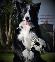 I Dig Cemeteries (ASHA THE BORDER COLLiE) Tags: halloween pic border collie funny caption make no bones about it dig ashathestarofcountydown