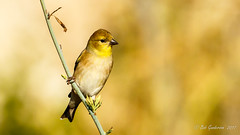 American Goldfinch - Monochromatic (Bob Gunderson) Tags: americangoldfinch birds california finches finchesgrosbeaks fortmason northerncalifornia sanfrancisco spinustristis coth5