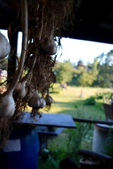 Drying Garlic (melodytyler) Tags: garlic bc canada sunset green nature sky tree blue white art clouds landscape summer people bw food house macro depthoffield garden home grown homegrown river pink fall autumn