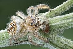 Salticidae. Macaroeris nidicolens. Female (dorolpi) Tags: