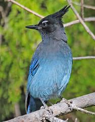 CAE007400a (jerryoldenettel) Tags: 171103 2017 corvidae cyanocitta cyanocittastelleri jay luislopez nm passeriformes socorroco stellersjay bird corvid passerine
