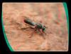 Atomosia Puella - Robber Fly Having Dinner 2 - Anaglyph 3D (DarkOnus) Tags: atomosia puella robber fly having dinner flydayfriday day friday hfdf fdf pennsylvania buckscounty panasonic lumix dmcfz35 3d stereogram stereography stereo darkonus closeup macro insect anaglyph diptera