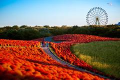 Tokyo2017_10183 (hitorijun) Tags: 国営ひたち海浜公園 日本 日本旅行 hitachiseasidepark red みはらしの丘 kochia autumn コキア