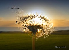 Dandelion Clock1 (g crawford) Tags: crawford ayrshire scotland northayrshire sundown gloaming afterglow clyde riverclyde firth firthofclyde dandelion time dandelionclock seed seeds seedhead westkilbride portencross portencrossroad sunset potd pod pictureoftheday herald glasgowherald 155