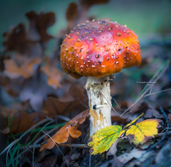 A generous scoop of strawberry icecream (Ingeborg Ruyken) Tags: dropbox autumn mushroom fungi fall vughterheide herfst ochtend morning forest fungus 500pxs natuurfotografie flickr paddenstoel bos vught