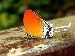 a privileged pause (Michiko.Fujii) Tags: microcosm natureatitsbest upclose parklife outinthegreen bukittimah singapore butterfly southeastasia