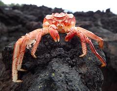 Crab Molt (hcwolford) Tags: hawaii crab molt molting shell lavarock