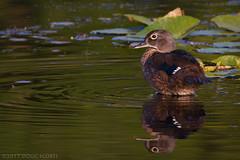 Early Morning Warmup (Doug Scobel) Tags: wood duck aix sponsa kensington metropark waterfowl bird wildlife nature