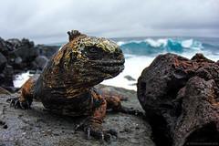 San Cristóbal Marine Iguana (Tristan Schramer) Tags: san cristobal galapagos marine iguana male waves coast wide angle