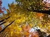 Looking Up (hessamt) Tags: foliage color fallfoliage orange yellow lookingup sky filteredlight autumn trees birch maple ash
