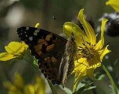 Butterfly_SAF4410 (sara97) Tags: butterfly endangered insect missouri nature outdoors photobysaraannefinke pollinator saintlouis towergrovepark copyright©2017saraannefinke