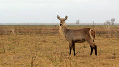Waterbuck (zimbart) Tags: africa mozambique gorongosanationalpark fauna vertebrata mammals artiodactyla bovidae kobus kobusellipsiprymnus waterbuck