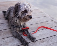 Coco dockside Connecticut river. (PJD-DigiPic) Tags: pjddigipic dog lumixcamera panasonicdmcgh3 grey connecticutriver red coco leash redleash dock glastonburyconnecticut