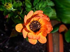Herbstgenuss (schasa68) Tags: blumen flower orange natur nahaufnahme blüte nature autumn herbst