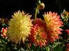 Colors of autumn - (rotraud_71) Tags: germany badenwürttemberg inselmainau autumn dahlias garden flowers fantasticflower