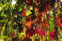 Nella vigna (carlo612001) Tags: vigna wine wineyard color colorful colors autumn autunno foglie leaves leaf yellow green red giallo rosso verde