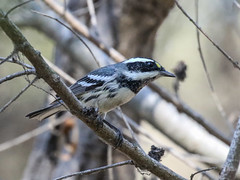 Black-throated Gray Warbler, Setophaga nigrescens (bruce_aird) Tags: